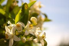 Mediterranean orange blossom (mjvidal80) Tags: flowers espaa spain mediterranean murcia orangeblossom azahar costacalida