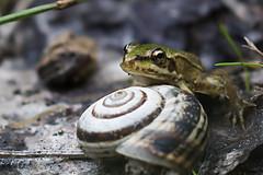Small Frog (borjamuro) Tags: españa detalle detail macro verde green beautiful beauty rio river spain eyes nikon snail frog alicante ojos rana froggy caracol murodealcoy d7100