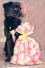 359/365 (Lua Pramos) Tags: dog baby love co project de amor dia perro gift cachorro 365 lovely yuka projeto presente cani presentedenatal 365days 365dias 365das projeto365dias 359365 projetofotogrfico diadepresente yukapuma yukapumadog projetofotogrfico2014 365photographyprojects yukinha dogyuka cachorroyukapuma