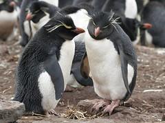 Southern Rockhopper Penguins (Med Gull) Tags: cruise expedition penguin falklandislands rockhopperpenguin jimwilson lasmalvinas seaadventurer bleakerisland zegrahmexpeditions
