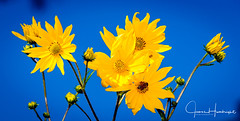 Yellow & Blue (jhambright52) Tags: macroflowers yellowflowers ngc npc
