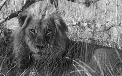 That Stare (philnewton928) Tags: africanlion lion malelion carnivore predator bigcat pantheraleo mammal animal animalplanet wild wildlife nature natural biyamiti kruger krugernationalpark africa southafrica outdoor outdoors safari nikon nikond7200 d7200 blackandwhite blackwhite bw monochrome