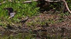 Latham's snipe, Gallinago hardwickii-9785 (rawshorty) Tags: birds australia canberra act rawshorty