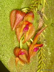 Lepanthes helicocephala? (Ecuador Megadiverso) Tags: naturaleza orchid flower macro southamerica nature fleur ecuador flora wildlife natur flor orchidaceae equateur orchidee blume makro equador biodiversity orqudea orchidea biodiversidad sdamerika puyo neotropical neotropics taxonomy:family=orchidaceae jardinbotanicolasorquideas lepantheshelicocephala andreaskay