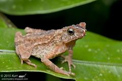Ingerophrynus gollum_MG_4790 copy (Kurt (orionmystery.blogspot.com)) Tags: amphibian frog toad amphibia ingerophrynusgollum gollumstoad frogsofmalaysia