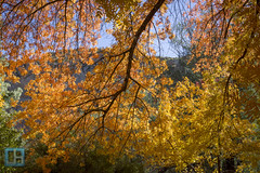 Autumn Hits the Arboretum (jhaskellus) Tags: autumn arizona orange fall fallcolor superior arboretum pistachio boycethompsonarboretum bta boycethompson picketpostmountain jhaskellus jhaskell jackhaskell jackhaskellphotography