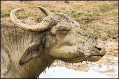 Mud, mud, glorious mud! (John R Chandler) Tags: srilanka waterbuffalo bubalusbubalis udawalawenationalpark