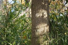Mimosa (Albizia julibrissin) (harum.koh) Tags: fabaceae plantae mimosa silktree albizia albiziajulibrissin magnoliophyta magnoliopsida nemunoki fabales  tracheophyta taxonomy:class=magnoliopsida taxonomy:family=fabaceae taxonomy:order=fabales taxonomy:kingdom=plantae taxonomy:phylum=magnoliophyta taxonomy:common=mimosa taxonomy:binomial=albiziajulibrissin taxonomy:genus=albizia taxonomy:common=silktree taxonomy:common=nemunoki taxonomy:species=julibrissin taxonomy:superphylum=tracheophyta acciadeconstantinopla taxonomy:common=acciadeconstantinopla taxonomy:common=