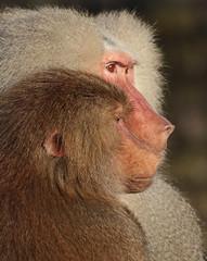 mantelbaviaan emmen JN6A9351 (j.a.kok) Tags: monkey baboon emmen baviaan papiohamadryas mantelbaviaan hamadryasbaboon