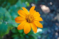 Orange daisy (alexispadilla) Tags: california travel flowers nature garden berkeley bayarea daisy universityofcaliforniabotanicalgardenatberkeley