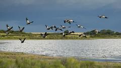 Bandurrias (alvama3) Tags: patagonia bird argentina la aves ave campo pampa albufera bandada bandurrias