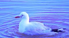 Bath time for this Silvergull at Twilight (Merrillie) Tags: ocean sea seagulls nature water birds animals fauna twilight nikon wildlife gull australia nsw coolpix oceanbeach umina silvergull p600 uminabeach nswcentralcoast centralcoastnsw