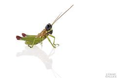 Grasshopper (ggallice) Tags: grasshopper saltamontes orthoptera acrididae manunationalpark peru amazon rainforest jungle southamerica cochacashu biologicalstation insect selva