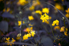 (hayleymastey) Tags: wisconsin wisconsinflora wi wisconsinwildflower wildflower wildflowers yellow unfocused outside outdoors outdoor plant plants petal petals summer spring dof depthoffield d3200 detail details dark focus flower flowers flowerbud flowergarden flowerbuds leaves leaf lines contrast country vivid vividcolor nikon nikond3200 nature naturelove newlife macro macrofocus monochrome macronature midwest macrophotography midwestflora