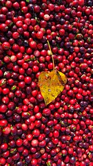 Cranberry Fall (Wally Barber) Tags: cranberry fall harvest red langley canada britishcolumbia leaf samsung