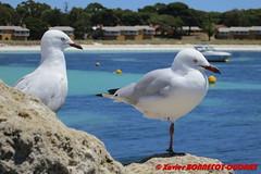 Rottnest Island - The Settlement - Seagulls (soyouz) Tags: aus australie geo:lat=3199540417 geo:lon=11554195225 geotagged rottnestisland westernaustralia westernaustralianmuseum thesettlement mer animals oiseau mouette australiel