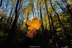 Gelbes Blatt (anikavaleries) Tags: weitwinkel yellow leaf blatt austria colourful autumn herbst