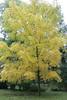 Juglans nigra, Schwarznuss (julia_HalleFotoFan) Tags: herbst blätter gelb juglansnigra schwarznussbaum schwarzewalnuss juglans walnussgewächse walnuss schlossparkdieskau