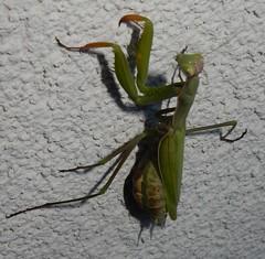 Pregnant female Mantis religiosa (John Steedman) Tags: niedersterreich austria sterreich autriche loweraustria insect mantis mantid mantisreligiosa mistelbach