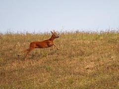 rushing (quarzonero ...Aldo A...) Tags: capriolo roe nature salto corsa jump run specanimal coth5 sunrays5