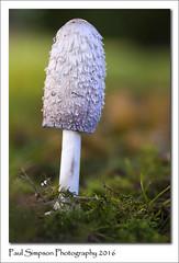 Shaggy Inkcap (Paul Simpson Photography) Tags: fungi mushroom paulsimpsonphotography photosof plants plant nature sonya77 october2016 photoof imageof imagesof fungus shaggyinkcap england naturalworld naturephotography mushroomphotography