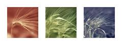 Tripy Corn (Furious Zeppelin) Tags: cyprus corm wheat mandria triptych rgb