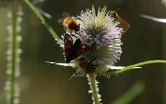 Affollamento (lincerosso) Tags: fiori flowers cardodeilanaioli dipsacusfullonum insettipronubi farfalle estate bellezza armonia boscobandiziol