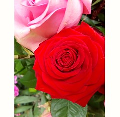 Roses - pink and red (eagle1effi) Tags: tbingen bergfriedhof nature naturemasterclass s7 samsung galaxy