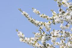 ckuchem-0573 (christine_kuchem) Tags: baum baumkrone blã¼te frã¼hling garten himmerl kirschbaum kirschblã¼ten kirschen krone naturgarten obstbaum obstgarten blau weiã