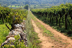 Through the vineyard (lorenzhome) Tags: vineyaard valeditria itriavalley puglia apulien italy weinberge