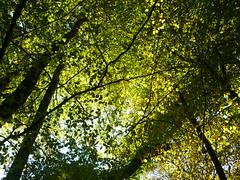 Herbstfrbung Buche (Jrg Paul Kaspari) Tags: manderscheid eifel vulkaneifel diebergkraterseetour wanderung herbstwanderung herbst autumn fall buche fagussylvatica herbstfrbung wolfsschlucht basalt