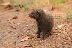Dwarf Mongoose (Clint Mason) Tags: krugernationalpark krugerpark southafrica dwarfmongoose mongoose animal sand