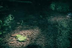Leaf in Sunlight (Al Fed) Tags: 20160710 france vogesen woods leaf wood water stream creek light river sunlight shining sun beam nature