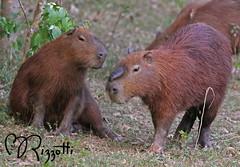 "Capybara ""World's Largest Rodent"" (girlslens) Tags: capybara"