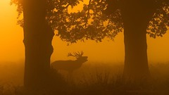Stag in Mist Morning at Richmond (Kutub Uddin...) Tags: