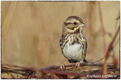 Song Sparrow (RKop) Tags: a77mk2 600mmf4apogminolta armlederpark cincinnati ohio raphaelkopanphotography sony