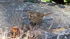Song Sparrow (Baractus) Tags: song sparrow john oates city central park manhatten new york usa