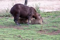 _1060505.jpg (riandar) Tags: safari mammals nature babycapybara pantanal capybara southwild brazil wildlife
