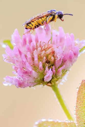 Sawfly on Trifolium