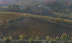 Magic Countryside (Claudio Cantonetti) Tags: 2016 d750 nikon alba autumn barolo claudiocantonetti dolcetto grapes italy langhe light nature nebbiolo october piemonte place red site unesco vineyard wine yellow landscape countryside agricolture colors trees foliage leafs travel