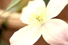 Pink Clematis montana, SOOC (rosewoodoil) Tags: photographedublin dublin dublino ireland irlanda irlande pink flower flowers fleur fleurs fiori clematis clematismontana stamens