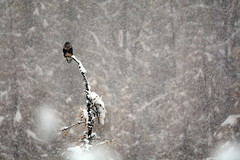ART_8296m (MILESI FEDERICO) Tags: milesi montagna milesifederico italia italy piemonte piedmont alpi alpicozie altavallesusa altavaldisusa autunno fall federicomilesi nikon nikond7100 d7100 iamnikon automne visitpiedmont valsusa valdisusa valliolimpiche valledisusa nital 2016 novembre europa europe neve nevicata snow bird animale animali fauna sigma150500 sigma poiana
