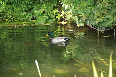 Mallard above the weir (Lil Shepherd) Tags: birds waterbirds duck walthamabbey