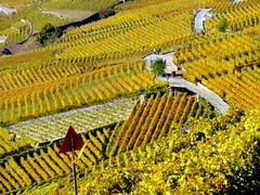 Autumn in Lavaux (oobwoodman) Tags: switzerland suisse schweiz vaud vignoble vineyards vigne vin vignes wine wein rebe lakegeneva lake lman lac lausanne leman lavaux grapes raisins trauben genfersee autumn automne herbst