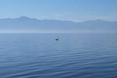 Peace in Blue, Salton Sea, California (anyasuzdal) Tags: water sea pelican bird calm calmness peaceful blue lightblue outdoor nature beautiful