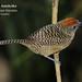 Fasciated Antshrike, Cymbilaimus lineatus