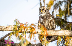 Barred Owl (lh24smile) Tags: blue cypress lake barred owl