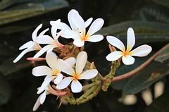 Plumeria (joybidge) Tags: trishcanada naturepatternscanada mauihawaii tropicalflowers