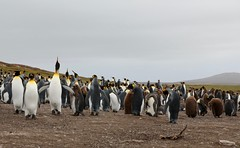 King Penguin Colony Volunteer Point Falkland Islands (eriagn) Tags: atlanticocean falklandislands volunteerpoint penguin kingpenguin colony bird feahers beak yellow gold black white panorama flightless swimmer eriagn ngirehart nature wildlife photography remote isolated naturalhistory animal exploreunexplored