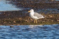 yellow-legged gull 069__161 (Baffledmostly) Tags: brandonmarsh yellowleggedgull